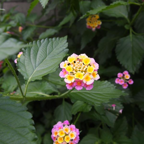 何の花だかわかりませぬが、小さい花が集まり色合いをなす